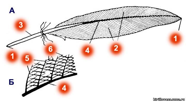 Схема строения пера птицы: