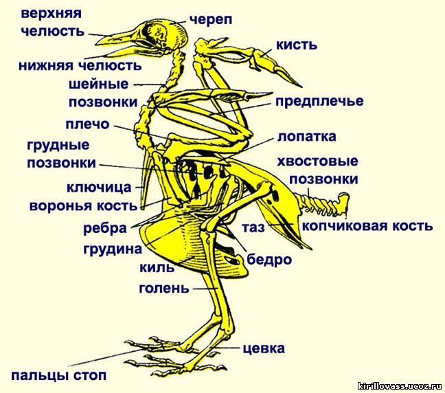 Скелет птицы имеет ряд